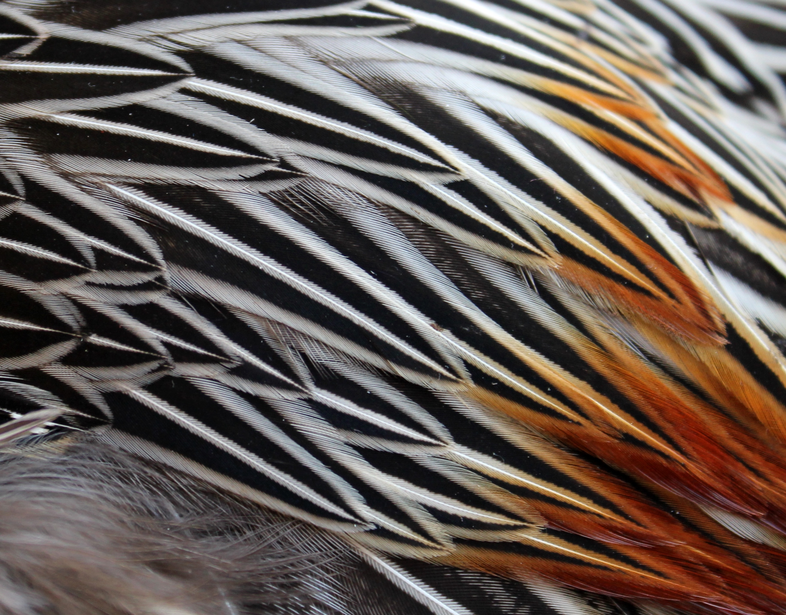 Fly tying jungle cock feathers the